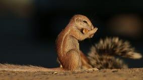 Feeding ground squirrel stock video footage
