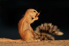 Feeding ground squirrel. (Xerus inaurus), Kalahari desert, South Africa Royalty Free Stock Photo