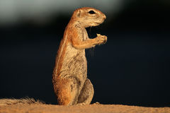 Feeding ground squirrel. Xerus inaurus, Kalahari desert, South Africa Stock Photo
