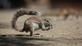 Feeding ground squirrel Stock Images
