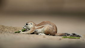 Feeding ground squirrel Royalty Free Stock Photography
