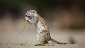 Feeding ground squirrel stock footage