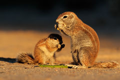 Feeding ground squirrels Royalty Free Stock Photos