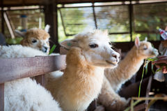 Feeding group of alpaca in the barn Stock Images