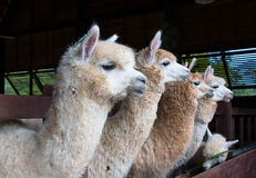 Feeding group of alpaca in the barn Royalty Free Stock Photos