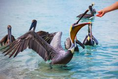 Feeding group of Pelicans on the beach Varadero, Cuba, with fish. royalty free stock images