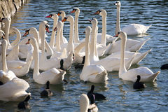 Feeding group of swans on the shore of lake. Group of swans and mallards feeding near to shore with ducks Stock Image