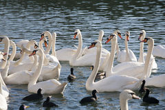 Feeding group of swans on the shore of lake. Young mute swans and wild ducks floating on clear water lake Royalty Free Stock Photo