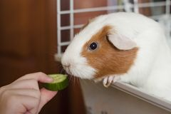 Feeding guinea pig. Someone feed the guinea pig with a slice of cucumber royalty free stock photos