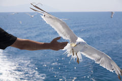 Feeding the gulls by hand Royalty Free Stock Photography