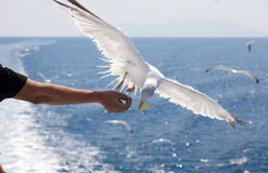 Feeding the gulls by hand Stock Images