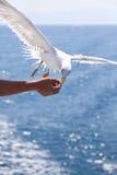 Feeding the gulls by hand Stock Photos