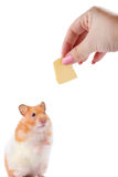 Feeding a Hamster. A female hand feeding cheese to a Syrian hamster against a white background
