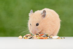 Feeding Hamster Royalty Free Stock Photo