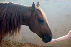 The feeding hand. A horse eating from a hand Stock Photography