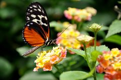 A feeding Helicon Butterfly Stock Images