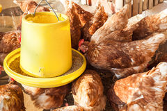 Feeding hen or chicken group at henhouse farmyard Stock Photography