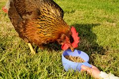 Feeding hen from cup Stock Images