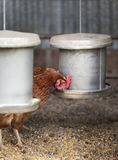 Feeding Hens Royalty Free Stock Photo