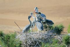 Feeding heron. The heron is feeding its nestling. Scientific name: Ardea cinerea Royalty Free Stock Photography
