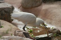 Feeding Heron in the Phoenix Zoo  2. This is a photo of a feeding heron taken at the Phoenix Zoo in Arizona while I was on vacation February 2017 Royalty Free Stock Image