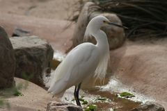 Feeding Heron in the Phoenix Zoo  1. This is a photo of a heron taken at the Phoenix Zoo in Arizona while I was on vacation February 2017 Royalty Free Stock Images