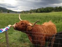 Feeding the Highland Cow. Scottish highlands, feeding highland cow on one of the farms Royalty Free Stock Photo
