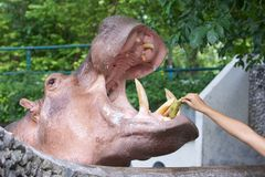 Feeding hippopotamus in a zoo Stock Photos