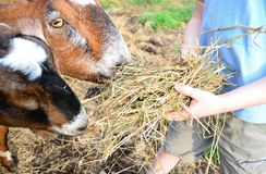 Feeding His goats Stock Photo