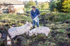 Feeding his pigs Stock Image