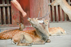 Feeding the holy deer in Nara, Japan Stock Image