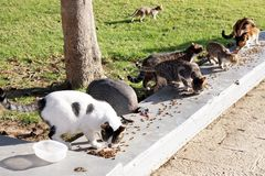 Feeding the homeless cats and guinea fowl Stock Images