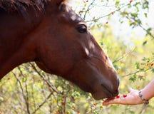 Feeding horse Stock Images