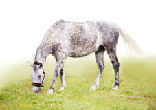 Feeding  horse. Feeding the dappled grey horse Royalty Free Stock Photos
