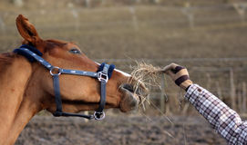 Feeding horse Royalty Free Stock Photo