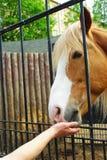 Feeding the Horse Royalty Free Stock Image