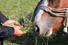 Feeding horse. Detail of hands of adult feeds on dry grass two horses Royalty Free Stock Photos