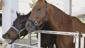 Feeding Horse in farm stock footage
