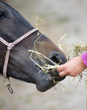 Feeding horse Royalty Free Stock Photography