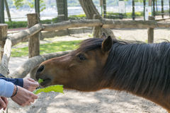 Feeding a horse by hands Royalty Free Stock Photography