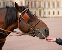 Feeding a horse with his hands. Horse head in harness on the background of the Gatchina Palace, horse feed with hands Royalty Free Stock Images