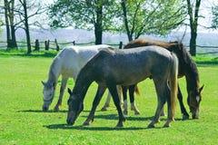 Feeding horses Stock Image