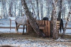 Feeding horses. Feeding the horses in the nature Stock Images