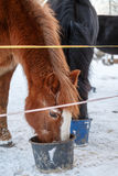 Feeding of horses in  pasture Stock Photography
