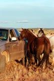 Feeding horses on the prairie Stock Photography