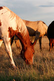 Feeding horses on the prairie Royalty Free Stock Photography
