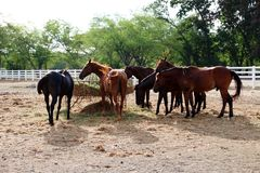Feeding horses in stable. Black and brown horses are eating hay in their stable Stock Photography