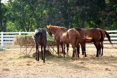 Feeding horses in stable. Black and brown horses are eating hay in their stable Royalty Free Stock Image