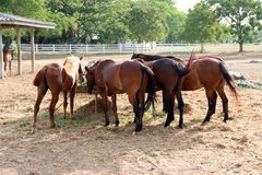Feeding horses in stable. Black and brown horses are eating hay in their stable Stock Images