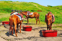 Feeding horses symbolizing serenity Royalty Free Stock Images